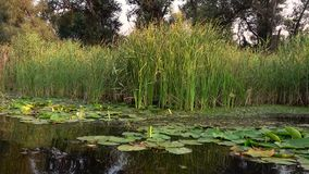 Rzeka z spadać wodnymi lelujami i liśćmi swobodny ruch zbiory wideo