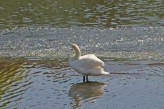 rzeki odzwierciedlać łabędzia. Obrazy Royalty Free