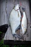 Rzeki ryba nad stary drewnianym Zdjęcia Stock