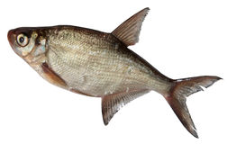 Rzeki ryba Odizolowywająca na białym tle płoć Fotografia Royalty Free