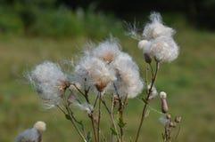Rzepów kwiaty Obraz Royalty Free