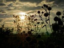 Rzepy na polu w słońcu fotografia stock