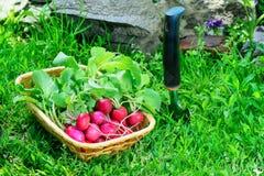 Rzodkwi warzyw roślina Fotografia Stock