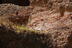 Rzym skąpania Caracalla, gniazdeczko seagull między ruinami obraz stock