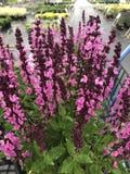 Sábio cor-de-rosa na flor fotos de stock