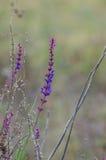 Sábio da flor, close up lilás da flor Imagens de Stock Royalty Free