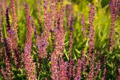 Sábio de florescência do jardim (sábio comum, sábio culinário), offici de Salvia foto de stock