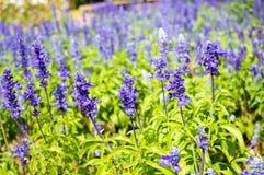 Sábio de salva moscatável (sclarea de Salvia) no fundo do jardim Imagens de Stock Royalty Free
