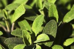 Sábio verde bonito imagens de stock royalty free