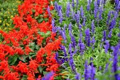 Sábio vermelho e azul, flores florescidas imagens de stock royalty free