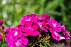 Süßer William, Dianthus barbatus, rosa Gartennelke auf einem Bett in einem Garten stockbilder