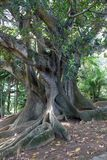 Very old tree in park in Ponta Delgada, Sao Miguel, Azores royalty free stock photo