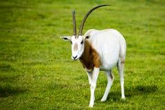 Säbelantilope im wilden lizenzfreie stockfotografie