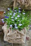 Säckvävpåse av Lobelia i blom Royaltyfri Foto
