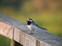 Sädesärla- eller Motacillafågel på ett staket Arkivfoton