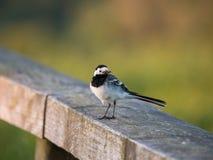 Sädesärla- eller Motacillafågel på ett staket Royaltyfria Bilder