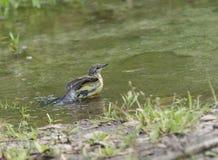 Sädesärla i vatten, Motacillawerae, naturlig miljö Fotografering för Bildbyråer