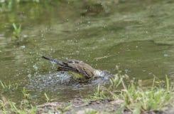 Sädesärla i vatten, Motacillawerae, naturlig miljö Royaltyfri Fotografi