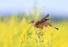 Sädesärla som sjunger på en äng med strimlade fjädrar Arkivbild