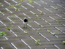 Sädesärlafågel på våt kullersten Arkivfoto