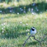Sädesärlafågel som sitter på jordningen med en bakgrund av suddiga blommor i gröna gass arkivfoton