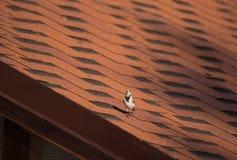Sädesärlan ser kameran med intresse på terrakottataket arkivbild