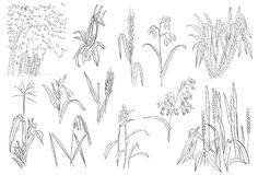 Sädes- havreris Sugar Cane Plants Vector Outline för gräs vektor illustrationer
