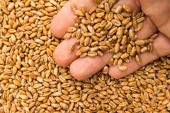 Sädes- korn för vete Person med korn i hand Makro Hel foo fotografering för bildbyråer