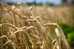 Sädes- skörd för vete, fält av korn, slut upp arkivbilder