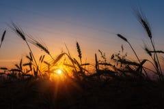 Sädes- vetefält på soluppgång Royaltyfri Fotografi