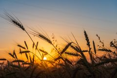 Sädes- vetefält på soluppgång Royaltyfri Bild