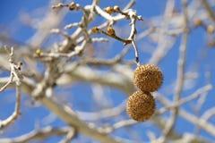 Säen Sie Hülsen für den Platanenbaum, der von der Niederlassung hängt Lizenzfreie Stockfotos