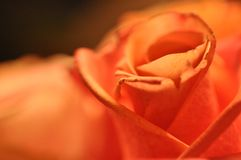 Säga älskar jag dig med en ros royaltyfria foton