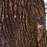 Säga för ekorre som är högt Royaltyfria Foton