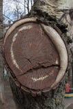 Sägen einer Baumnahaufnahme Aspen-Hintergrund Lizenzfreie Stockfotografie