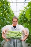 Säker kvinnlig forskarevisningbehållare mycket av haricot vert Royaltyfri Fotografi