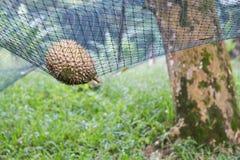 Säkerhetsnät som dämpar tappad inverkan av den mogna durianen arkivfoto
