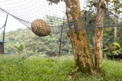 Säkerhetsnät som dämpar tappad inverkan av den mogna durianen royaltyfria foton