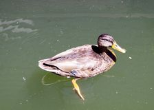 Säkra Duck Near Floating Deck, Portland Oregon, USA fotografering för bildbyråer