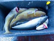 Sälja den nya dödade fisken i plast- ask Den plast- asken med blodigt vatten, blöter asken Royaltyfri Foto