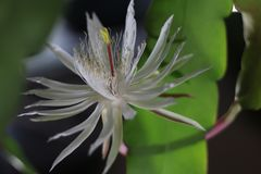 sällan blommanattdrottning royaltyfri bild
