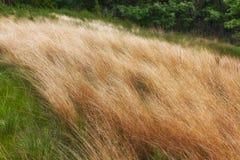 Sällan infödd grässlätt Arkivbilder