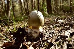 Sällsynt art av svampen Royaltyfria Bilder