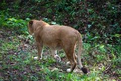 Sällsynt asiatisk lejoninna i den nationalparkNayyar fördämningen, Kerala, Indien Arkivfoto