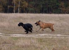 Sällsynt avel för jätte- Schnauzer av hunden - söder - afrikan Boerboel Royaltyfri Fotografi