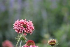 Sällsynt färg för blomma Arkivbilder