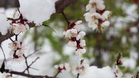 Sällsynt fenomen Insnöat fjädra Förgrena sig av det blomstra äppleträdet som snön ligger på Snö på blommor klimat arkivfilmer