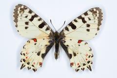 Sällsynt fjäril, östlig festoon; på vit Royaltyfri Fotografi