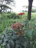 Sällsynt frukt Royaltyfri Bild
