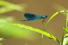 Sällsynt härlig demoiselle, Calopteryx virgo Listat i Bernregelkryp Manligt djur Fotografering för Bildbyråer